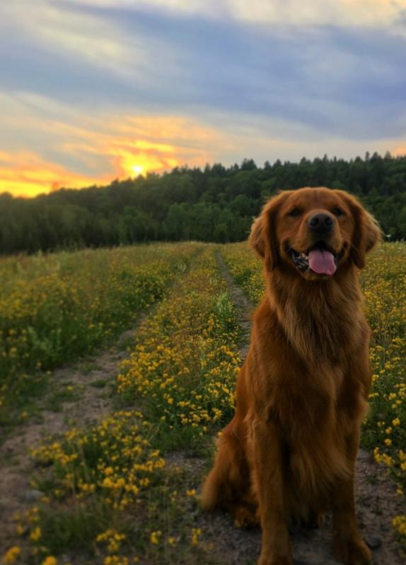Alex Mayberry's dog in a field at sunset